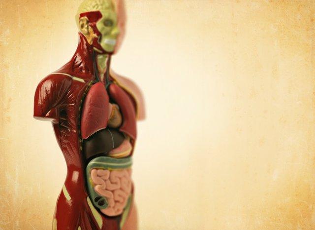Modelo anatómico.