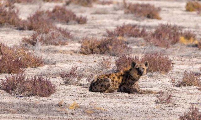 Las hienas prehistóricas y los humanos comparten patrones de migración