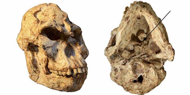 Una vértebra de Austrolopithecus revela aspectos de su vida