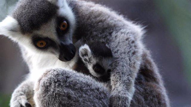 COMUNICADO: Un rayo de esperanza en Loro Parque: nace una cría de lémur de cola