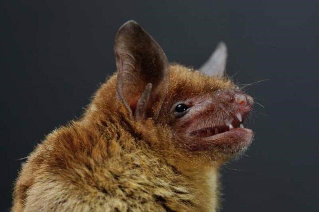 Un estudio en 2007 advirtió de que los coronavirus de murciélagos ...