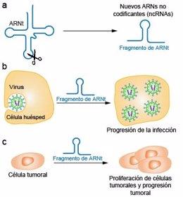 Expertos españoles hallan una relación muy estricta entre estos fragmentos derivados de ARN de transferencia y cáncer