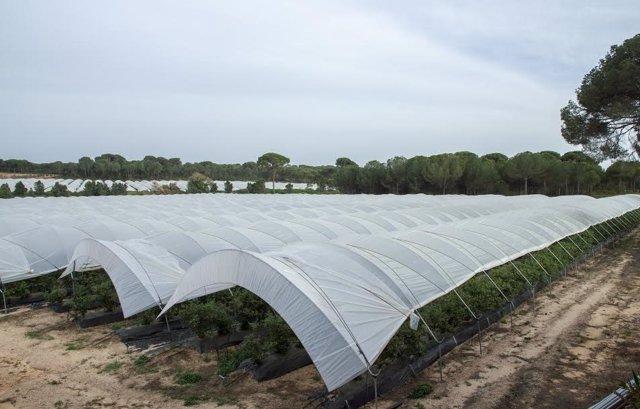 Cultivo de fresas en Huelva, en una imagen de archivo