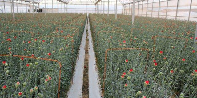 Plantación de claveles