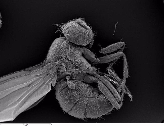 Imagen de una mosca de la fruta adulta, 'Drosphila melanogaster'