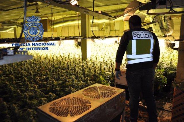 Policía Nacional desmantela un cultivo hidropónico de marihuana e incauta 3147 plantas