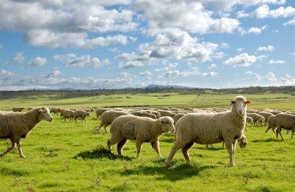 Un total de 6.508 perceptores reciben 25,8 millones de euros en ayudas al ovino y caprino extremeño