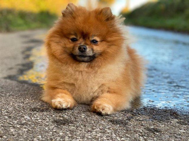 Un perro spitz alemán.
