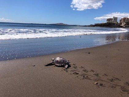 Devuelta al mar en Melenara (Gran Canaria) una tortuga que apareció en Las Canteras atrapada en un saco de rafia