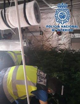 Plantación de marihuana en una investigación por secuestro