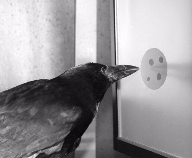 Imagen de un cuervo 'contando'