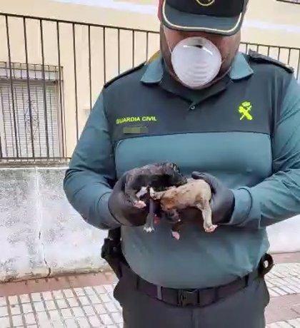 La Guardia Civil rescata con vida dos cachorros de galgo del interior de un contenedor en Talavera la Real