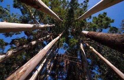 La Xunta elimina la autorización previa para la tala de eucaliptos y pinos en terrenos protegidos