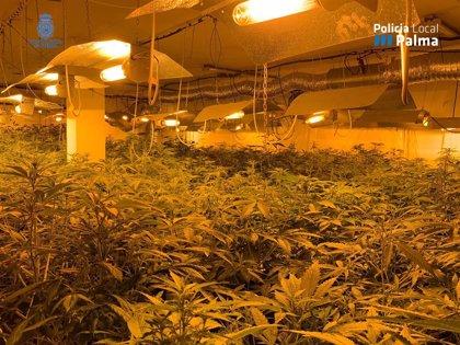 La Policía desmantela una plantación de marihuana en un almacén de 200 metros en La Soledad