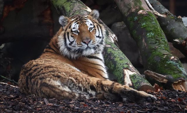 Un tigre en un zoo belga.