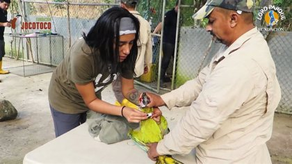 COMUNICADO: Loro Parque Fundación contribuye a la reintroducción de seis guacamayos en Ecuador