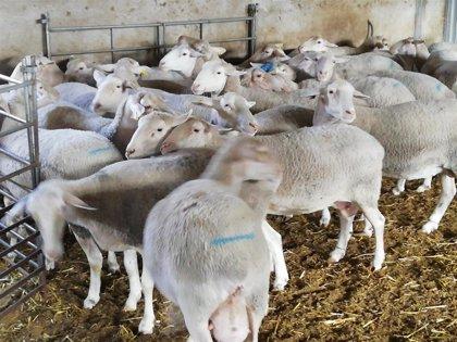 """La Unió afirma que ganaderos valencianos """"quedarán fuera"""" de las ayudas de ovino-caprino si no hay cambios"""