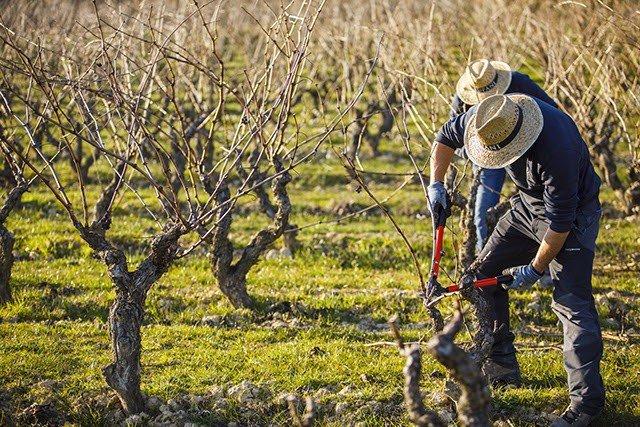 Agricultor cuida sus viñas