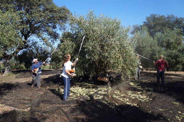 Recogida de aceitunas en un olivar de la provincia de Córdoba, en una imagen de archivo.
