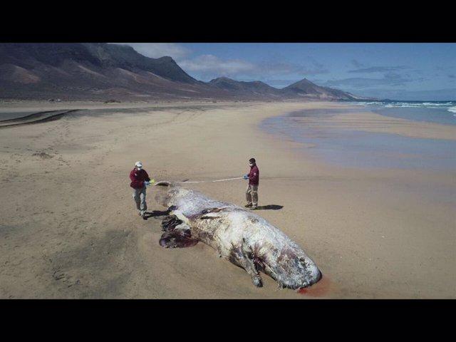 Localizado un cachalote en avanzado estado de descomposición varado en Cofete (Fuerteventura)