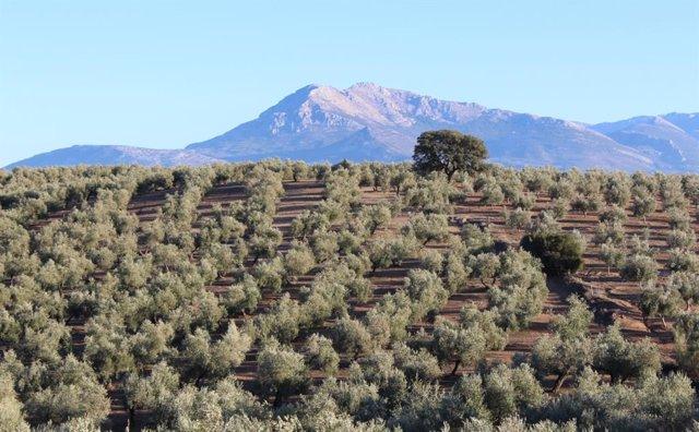 El 'coronavirus' del olivo amenaza un 95% de la producción europea