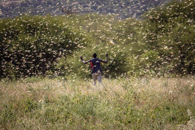 África.- Crece el temor a una segunda invasión de langostas en el este de África