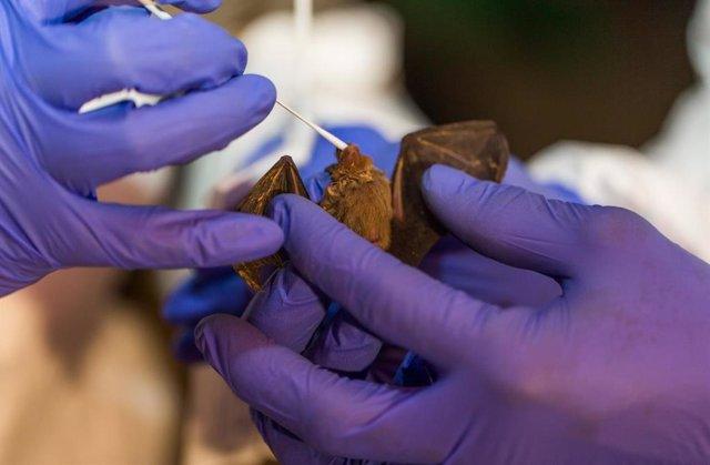 Toma de muestras en un murciélago