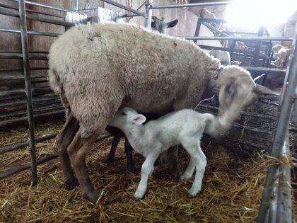 El Gobierno destinará 10 millones para ayudar a ganaderos de ovino y caprino, afectados por la crisis del coronavirus