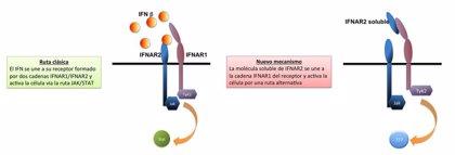 Investigadores españoles sugieren que una proteína podría ser tratamiento contra enfermedades infecciosas y autoinmunes