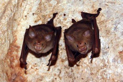 Nuevas especies de murciélagos, 'primos' de los sospechosos del COVID-19
