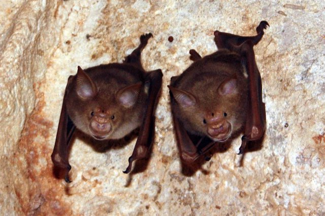 Murciélagos africanos de nariz de hoja
