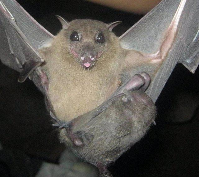 Coronavirus y murciélagos evolucionan juntos hace millones de años