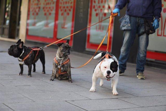 Una persona pasea a tres perros por las calles de la capital en plena pandemia del coronavirus. En Madrid, (España), a 8 de abril de 2020.