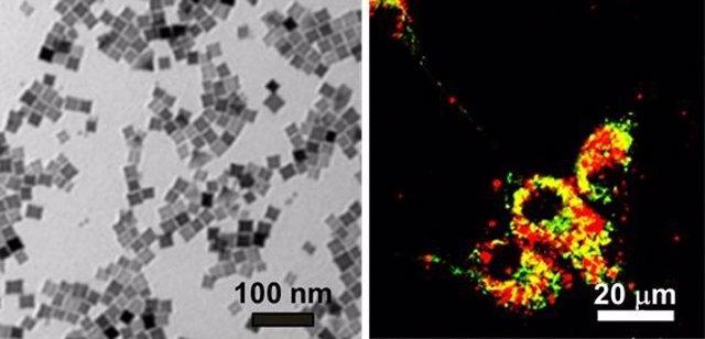 A la izquierda, nanocubos. En ella puede verse que el tamaño de los nanocubos es cercano a 20 nm. A la derecha, imagen de células cancerosas en un cultivo, que han internalizado nanocubos.
