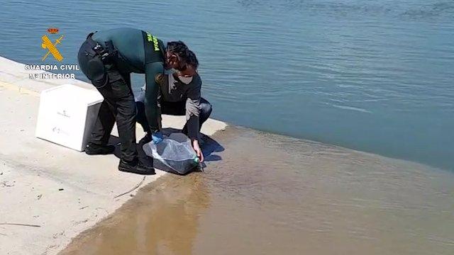 La Guardia Civil reintroduce en el medio natural a las angulas incautadas en la operación ASKEA