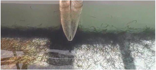 Angulas incautadas del tráfico ilegal de especies.
