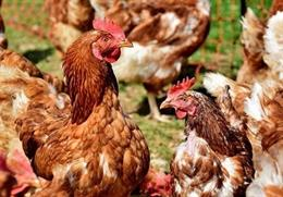 La consellera Jordà pide a Planas la retirada de 1.000 toneladas de carne de ave