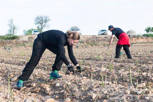 Varios jornaleros recogen a mano los espárragos verdes