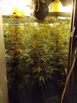 Plantación Marihuana en Fuentenovilla
