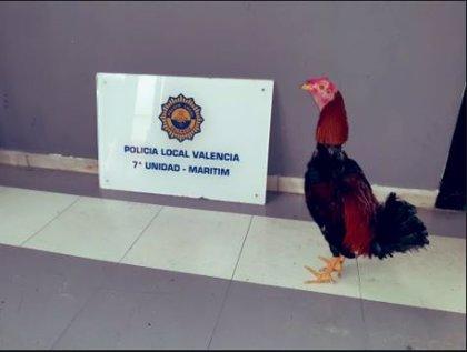 Rescatan a un gallo utilizado en peleas en el barrio del Cabanyal de València