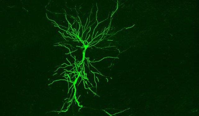 Célula piramidal del hipocampo captada 'in vivo'