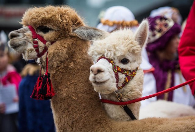 29 December 2018, Baden-Wuerttemberg, Stuttgart: Alpacas from Peru accompany star singers during the opening of the 2019 Star Singing event. Star singers, also known as Epiphany singers or Star boys\' singing procession, are children and young people walk