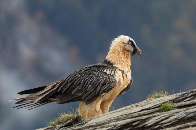 La población del quebrantahuesos en el Pirineo se sitúa entre 937 y 1.119 ejemplares.