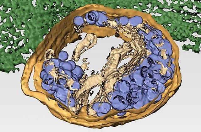 Tomografía electrónica tridimensional de una célula infectada por el reovirus humano. Los virus maduros Infectivos (azul oscuro) son transportados por lisosomas modificados (amarillo) hasta la membrana Plasmática (verde).