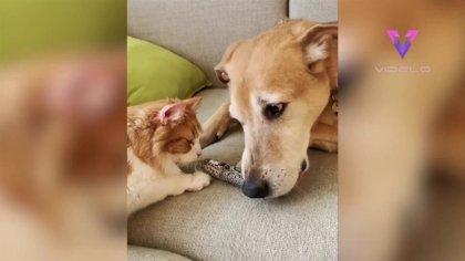 Conoce a Raylan, un perro adoptado que lleva seis años cuidando de gatos de acogida