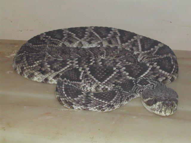 Ejemplar de Echis ocellatus, o víbora alfombra de África Occidental.