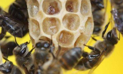 Identificado el gen de la reproducción virginal de un tipo de abeja