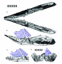 Dientes como piedras para triturar moluscos en un depredador del Triásico