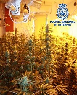 Plantación de marihuana intervenida en la zona Norte de Granada