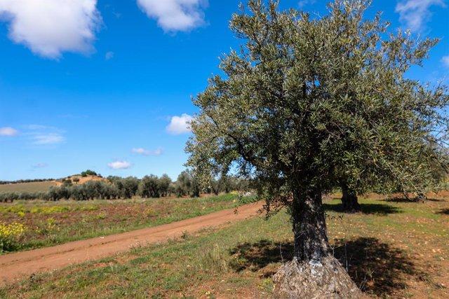 Economía.- Las exportaciones de aceite de oliva a Estados Unidos se desploman un
